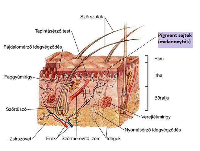 Pigmentáció terhesség alatt - okok